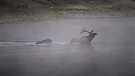 New Footage of Grizzly Bear Taking Down A Bull Elk In The