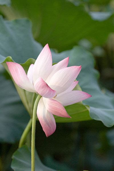 What is the Difference Between Water Lily and Lotus