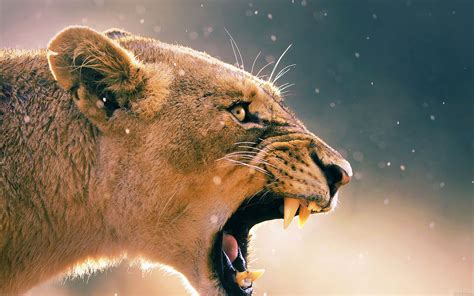ma41-angry-lion-one-animal-nature - Papers
