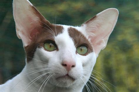 Top 10 Most Popular Cat Breeds Cats 101 – Animal Facts