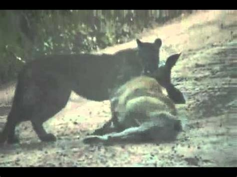 Panthers eat well but still die badly in SW Florida