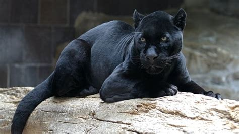 No evidence of panthers in Newfoundland despite reports